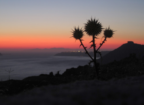 Thistle and Sunset