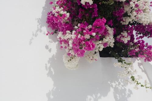 White and Fuscia Bougainvillea